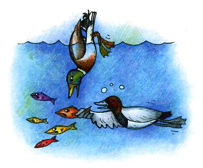 Самая известная птица из уток, кряква