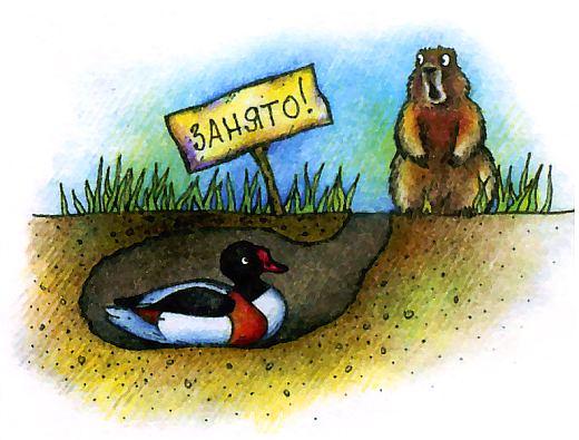 Утка пеганка и утка огарь выбирают для своих гнезд заброшенные норы лисиц, барсуков или сурков.