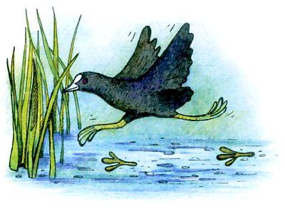 Утка лысуха – дикая птица с черным оперением