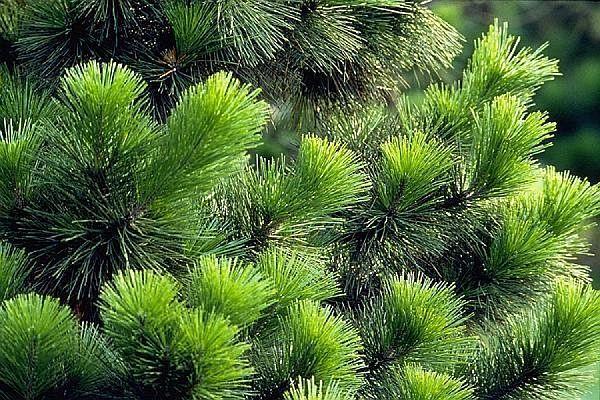 Как растут новые иголки на елке