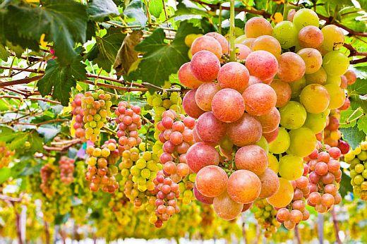 Как самостоятельно вырастить виноград.