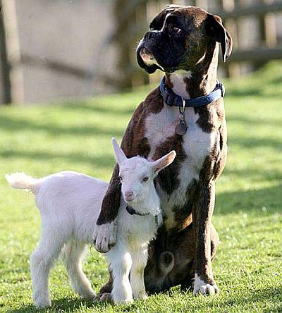 Забавные животные, козленок с собачкой - фото.