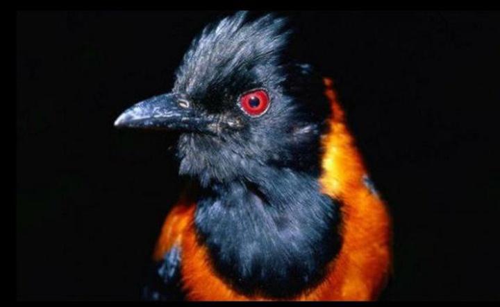 Правда что существуют ядовитые птицы