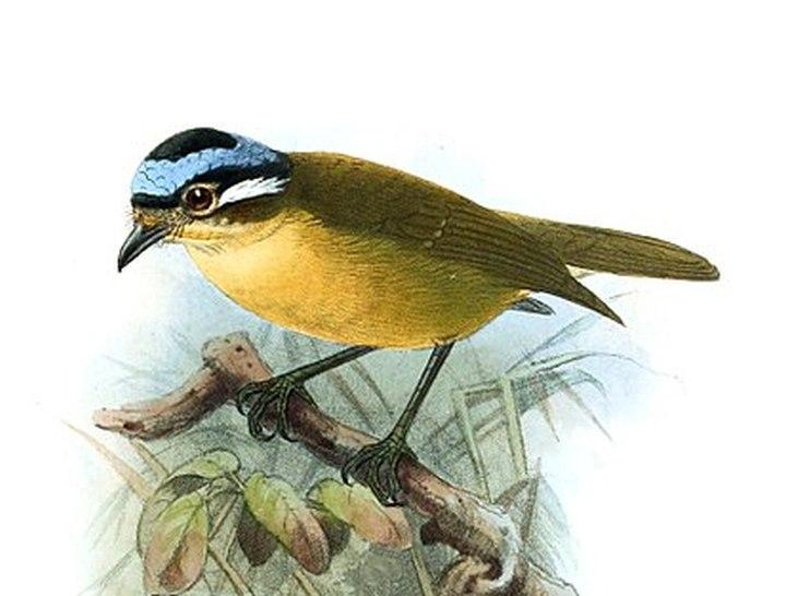 Синеголовая ифрита небольшая насекомоядная птица фото