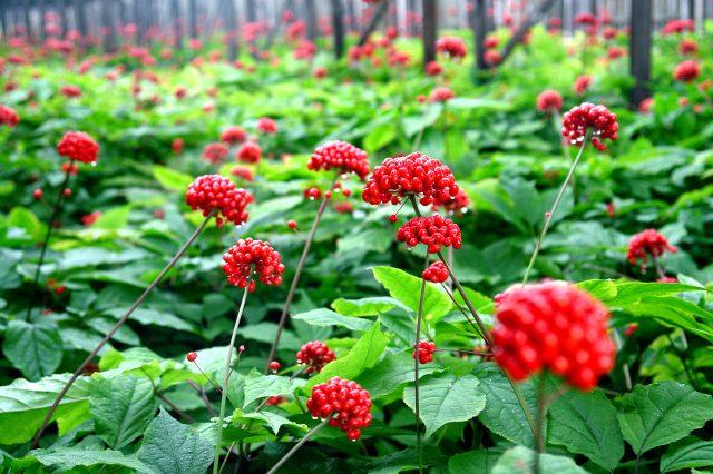 Выращивание женьшеня на искусственных плантациях