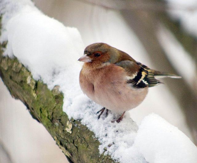 зяблик фото птицы зимой