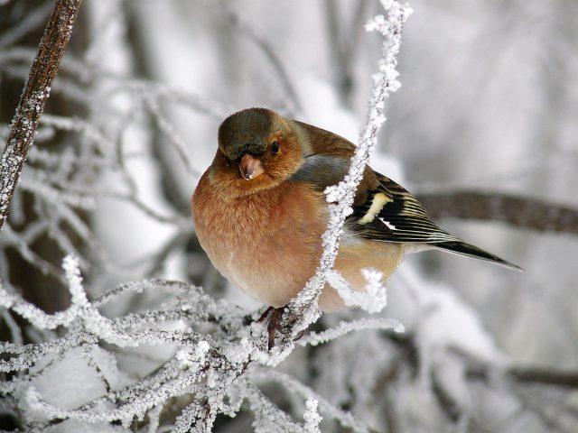 на этом фото зяблик зимой