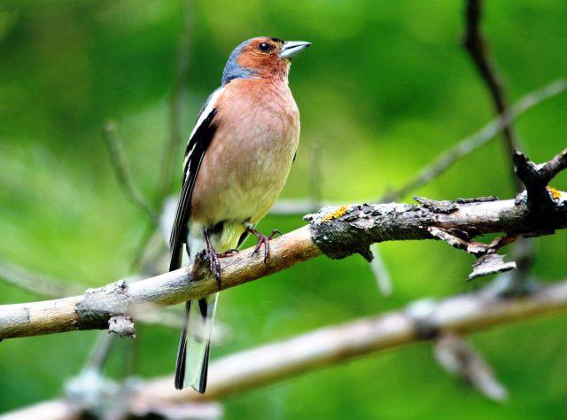 зяблик фото птицы