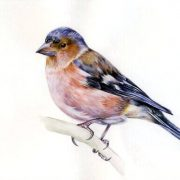 птица зяблик картинка