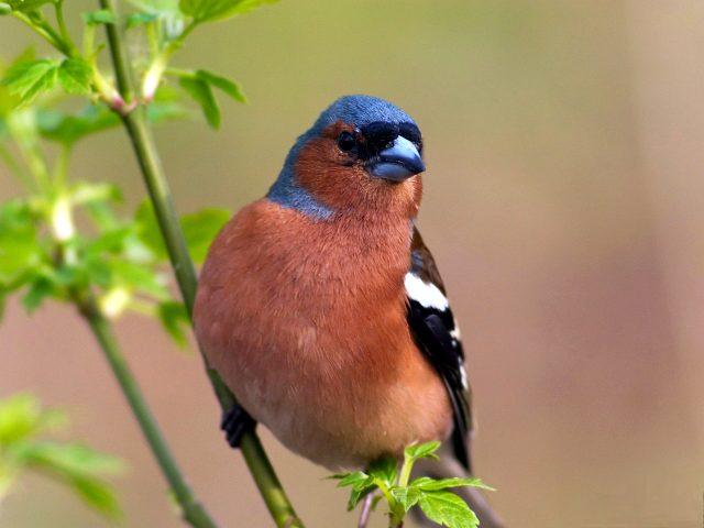 птица зяблик фото и описание