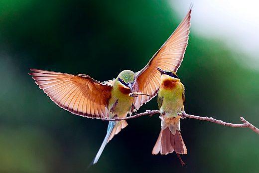 птица золотистая щурка фото
