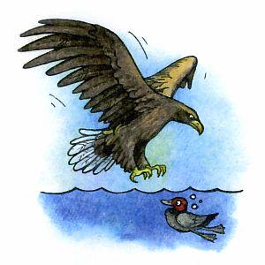 Как охотится орлан-белохвост, как орланы ловят рыбу?