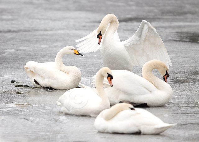 Где зимуют лебеди