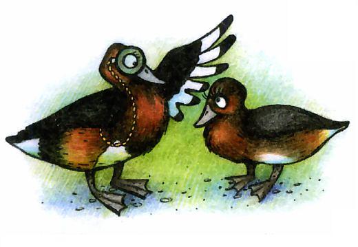 Селезень и утка различия