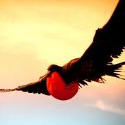 Птица фрегат с острова рождества парящая над водой, фото