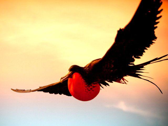 Правда, что есть птица пират и назвали ее в честь кораблей пиратов - фрегат.