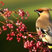 Почему птицы с хохолком на голове любят рябину