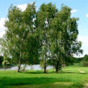 Береза у реки фото, сколько лет растет береза