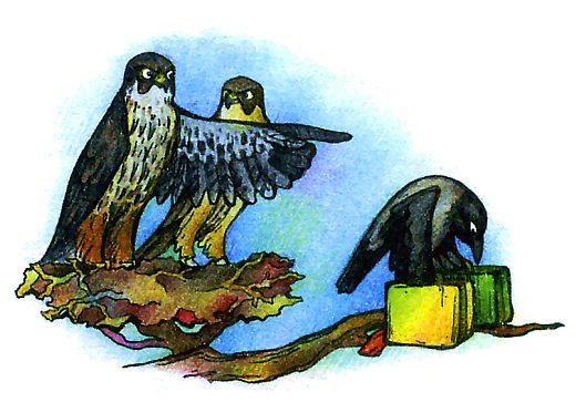 Самые быстрые хищные птицы - сокол чеглок