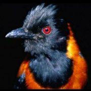 Ядовитая птица питоху - фото